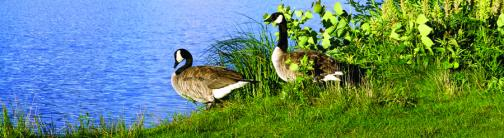 CI046-CANADIAN GEESE